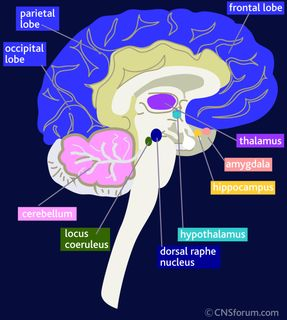 Brain Anatomy Amygdala Hippocampus